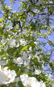 Vogelkirsche Blüten