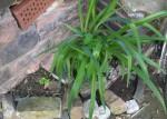 Lilie im Beet