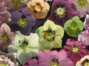 Farbvariationen bei den Blüten von Lenzrosen