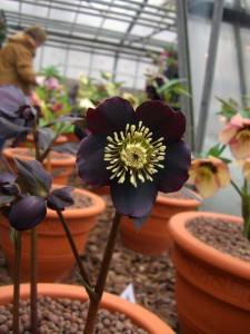 Lenzrosenblüten können sehr dunkel und sogar fast schwarz sein